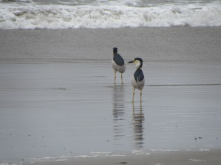What kind of heron?