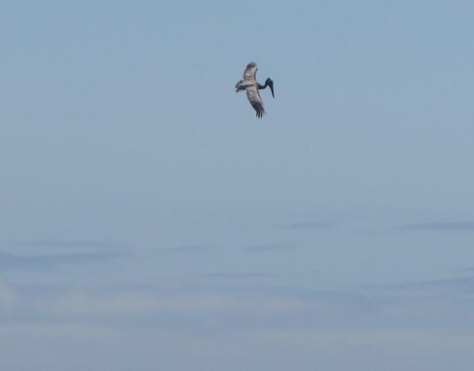 pelicandive