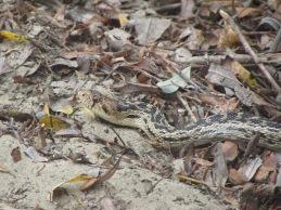 A veeeery long snake...